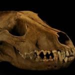 """México: Descubren el """"mítico"""" zoológico de Moctezuma con miles de huesos en su mayoría, de lobos"""