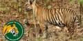 Censo de tigres en India, revela que han recuperado hasta el 30% de su población en cuatro años