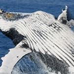 Japón anuncia el primer censo de ballenas en Antártida en vez de enviar los buques factoría