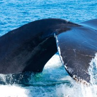 Científicos apuntan que el secreto de la longevidad está en la genéticas de las ballenas