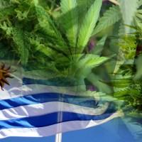 La semana entrante darán licencias a cinco empresas que producirán marihuana en Uruguay