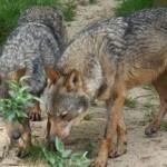 Tras amenaza de extinción los lobos vuelven a proliferar en España pero los ganaderos quieren liquidarlos