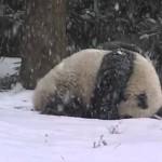 Video del oso panda Bao Baom: el cachorro de 16 meses pasea por la nieve en Washington