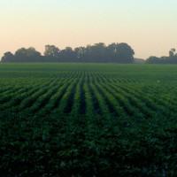 Argentina rompe su récord de área sembrada de soja pero caen los precios
