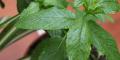 La albahaca y sus usos medicinales