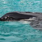 """""""Liberen a Lolita"""": la orca que sobrevive cautiva más tiempo en acuario de EE.UU."""