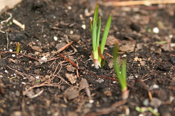 Plantar ajo en casa a partir de un solo diente