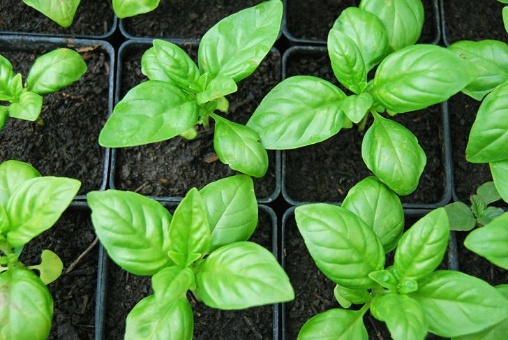 Plantar albahaca a partir de algunas hojas