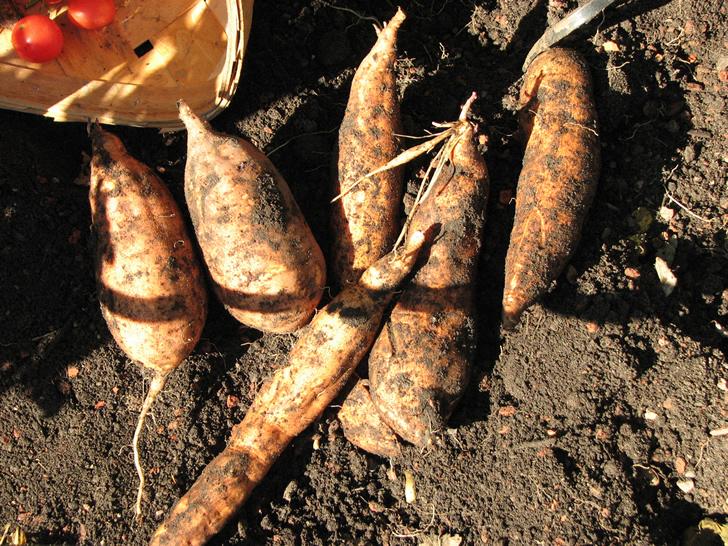 Plantar batatas o boniatos con sobras de la cocina