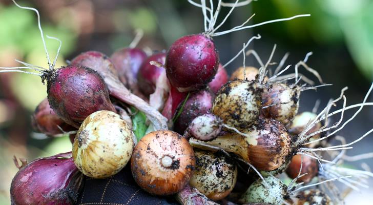 Plantar cebollas en la huerta de tu casa a partir de sobras