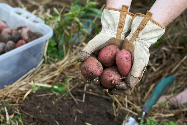 Plantar papas en casa a partir de las sobras