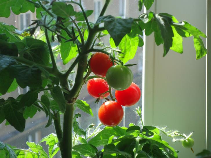 Comienza una huerta en tu casa con sobras de cocina for Plantar pimientos y tomates