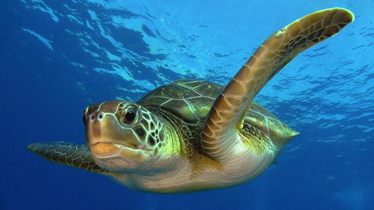 Es la especie de tortuga marina más estudiada, siendo fuente de la mayoría del conocimiento sobre estos animales marinos / Foto: Philippe Guillaume
