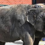 """El Circo Ringling """"El mayor espectáculo del Mundo"""" deja de usar elefantes en sus pistas circenses"""