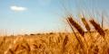 La evolución del trigo
