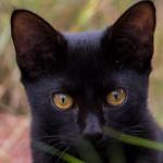 Los beneficios del ronroneo de los gatos