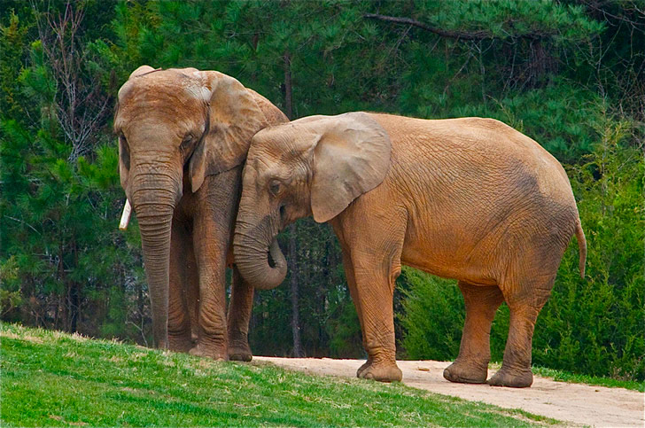 La población de elefantes en África está en un punto crítico, con menos de 500.000 ejemplares / Foto: Ucumari en Flickr