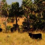 Paysandú Salto y Canelones serían los más afectados por abigeato según productores
