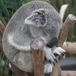 El koala, junto al canguro, el más popular representante de Australia en alto peligro ante el cambio climático