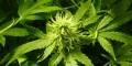 Este año se venderá en farmacias la marihuana producida bajo control del Estado