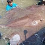 Récord a la mayor pesca de río jamás registrada: una raya fluvial de Tailandia que pesó 320 kilos
