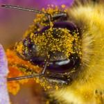 La preferencia de las abejas por flores tratadas con algunos pesticidas sería la causa de la  masiva mortandad