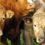 Uruguay está habilitado para exportar ganado en pie a Emiratos Árabes