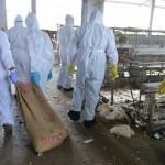 Afectaría humanos la gripe aviar que se expande en EE.UU. y llegó a México: sacrifican 7 millones de aves