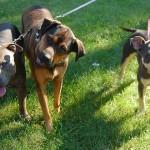 Análisis de ADN a las deposiciones de los perros en la calle para identificar al dueño y multarlo