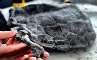 Descubren fósil de 240 millones de años de uno de los animales de más misteriosa evolución: las tortugas