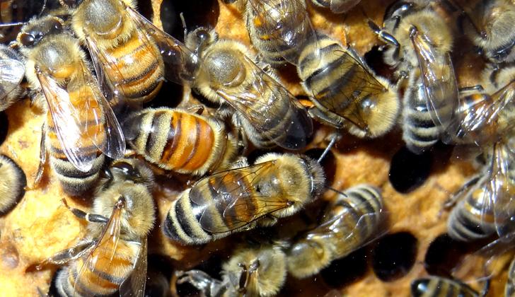 Estudios previos ordenados por apicultores y productores mielíferos de Estados Unidos, han estimado hasta en una tercera parte la pérdida de las colonias, aunque hay casos de pérdidas totales, en áreas que abarcan de Maine a Delaware. Foto: Martin LaBar.