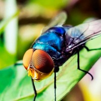 Solicitan liberar moscas transgénicas en olivares de España