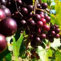 El aceite de las uvas muscadine puede ayudar a reducir la obesidad