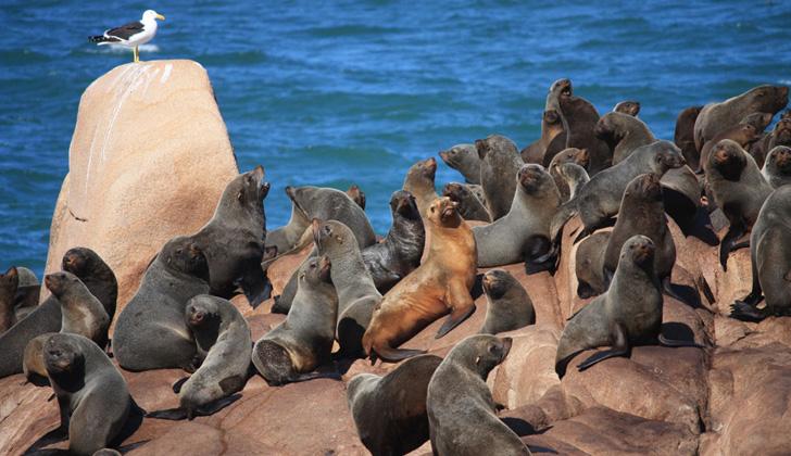 Leones marinos en el Parque Nacional Cabo Polonio. Foto: Wikimedia Commons.