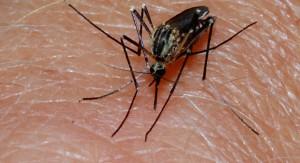 Investigan si proteínas y aceite de mosquito sirven de ingrediente para alimentos