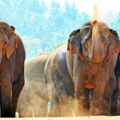 """Los elefantes tienen """"copias extra"""" del gen que elimina tumores cancerosos y apenas sufren tumores oncológicos"""