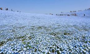 Un parque japonés que se transforma en un mar de flores azules
