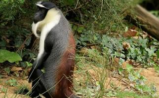 Mono Cercopiteco de Roloway, que está en peligro de extinción crítico. Foto: Wikimedia Commons.