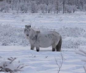 Caballos de Siberia prueban que adaptación a temperaturas extremas ocurre tras solo algunas generaciones