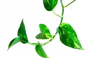 La NASA recomienda plantas para purificar el aire del ambiente. Foto: Wikicommons