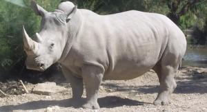 """Muere uno de los últimos cuatro rinocerontes blancos en el mundo y están """"biológicamente"""" extintos"""