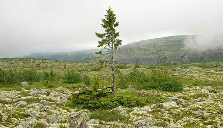 El árbol más viejo del mundo tiene 9.550 años y aún crece en Suecia. Foto: Leif Kullman