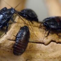 Las cucarachas que resisten hasta 900 veces la presión de su peso corporal clave para los futuros robots rescatistas