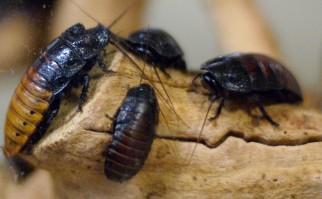 Las cucarachas también resisten altos niveles de radiactividad, debido a su alta capacidad de reparación enzimática. Foto: Jeff Kubina.