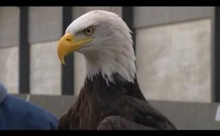Holanda entrena águilas capaces de atacar y bajar a tierra drones, ante la proliferación de esta tecnología sin autorizaciones
