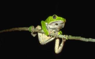 Rana Phyllomedusa Bicolor. Foto: Wikimedia Commons.
