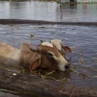 La emergencia agropecuaria para Rocha y Treinta y Tres permitirá a productores acceder a fondos para comprar alimentos para su ganado