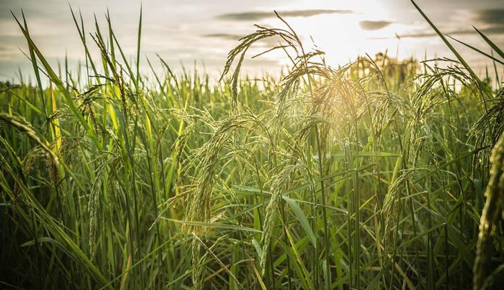 Sembradío de arroz. Foto con fines ilustrativos: Pixabay.