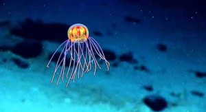 Sorprendentes imágenes de hidromedusas captadas a 3.700 metros de profundidad