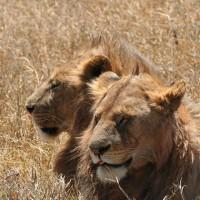 33 leones rescatados de circos de Sudamérica fueron liberados en Sudáfrica